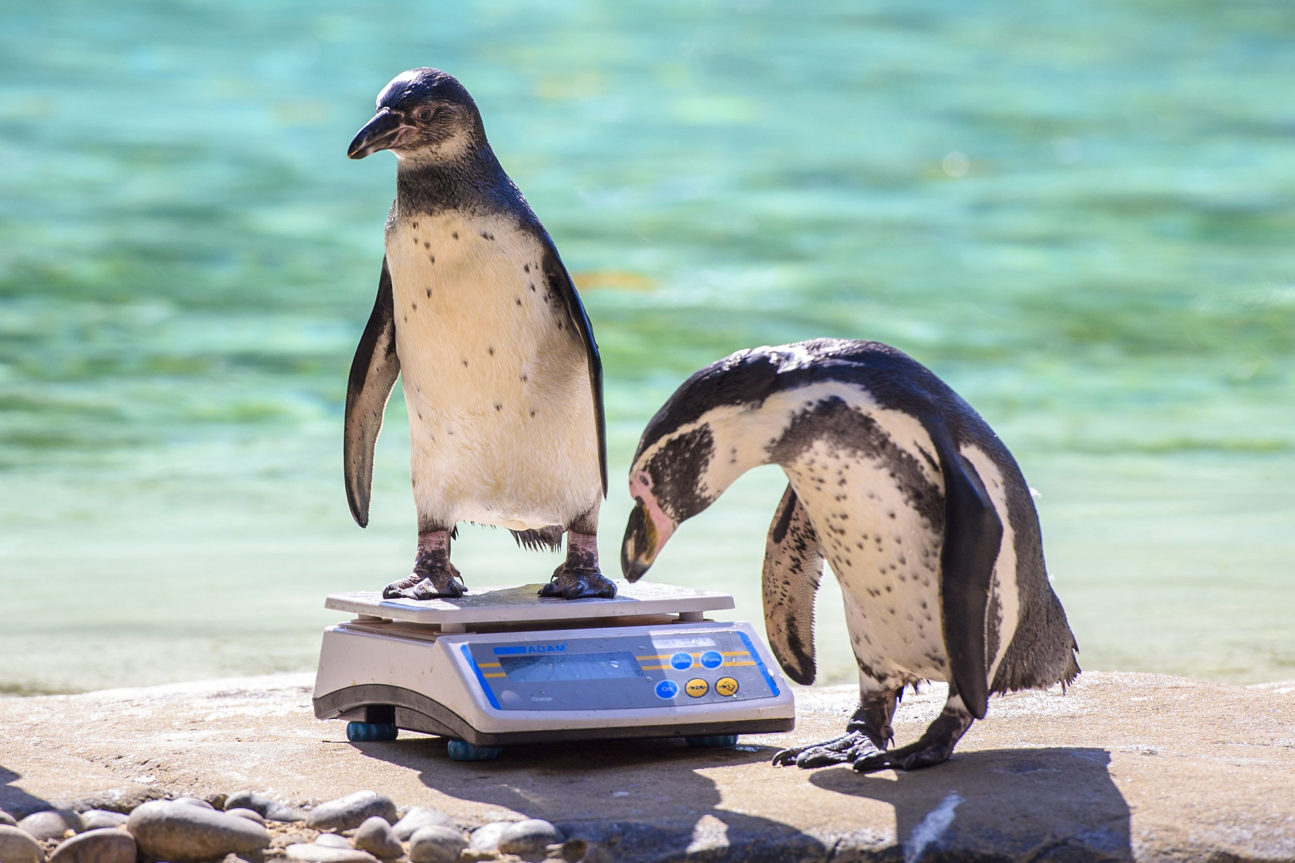 Humboldt penguins are weighed at rhe annual weigh-in, at the London Zoo 08/24/16.
