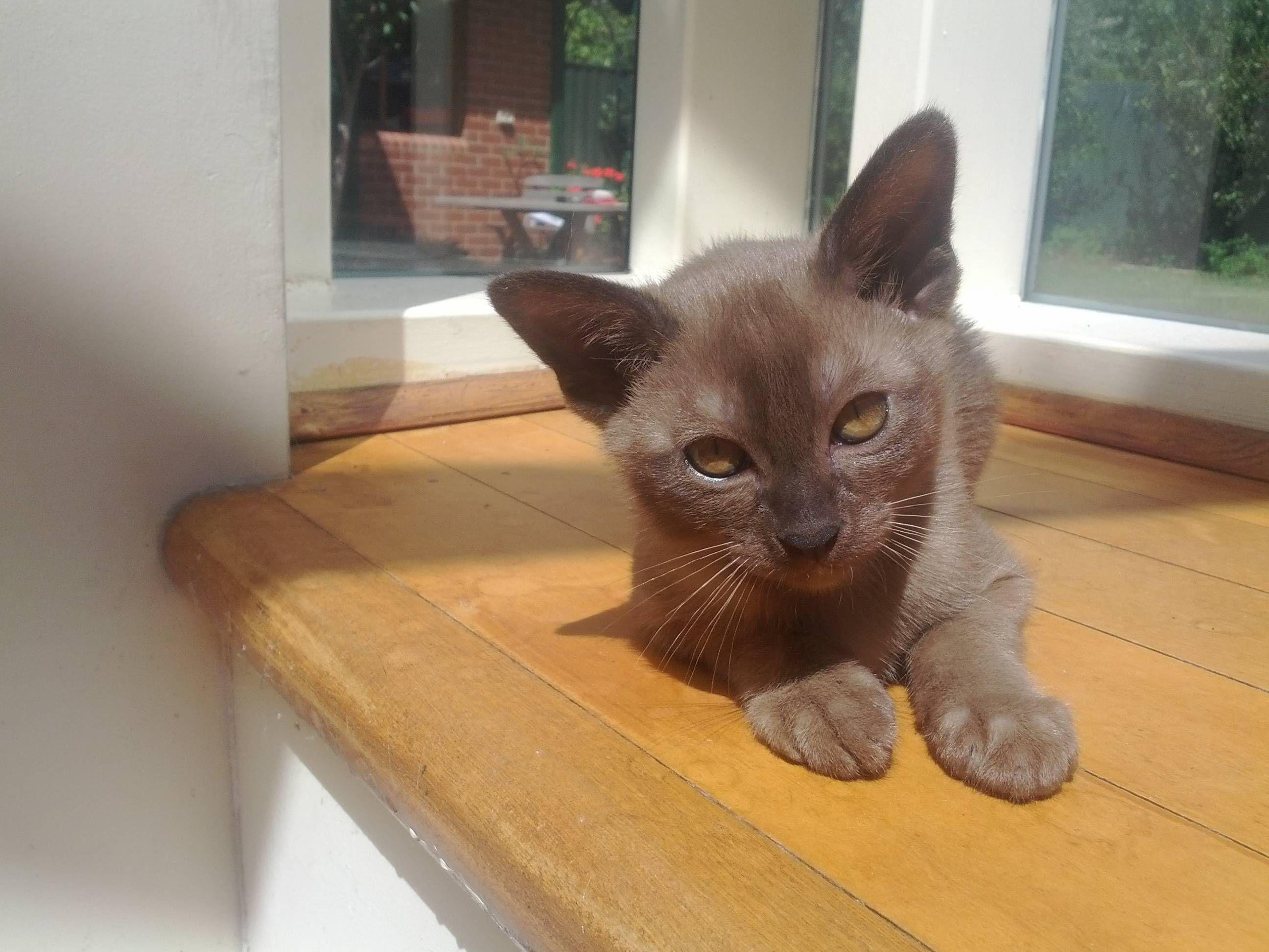 He Needs A Name Burmese 10 Week Old Kitten Kitten Animals Cats