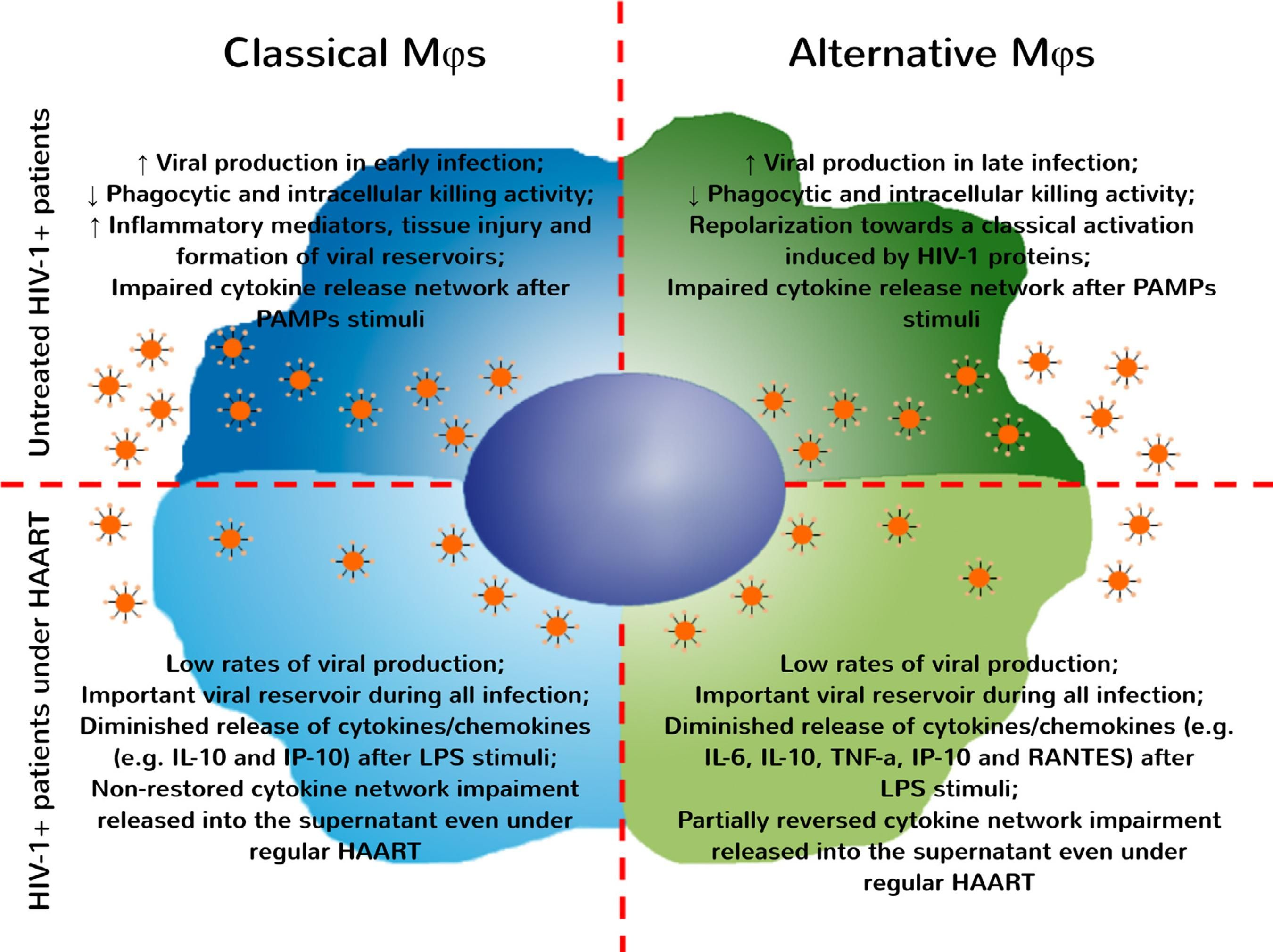 Classical and alternative macrophages have impaired function during ...