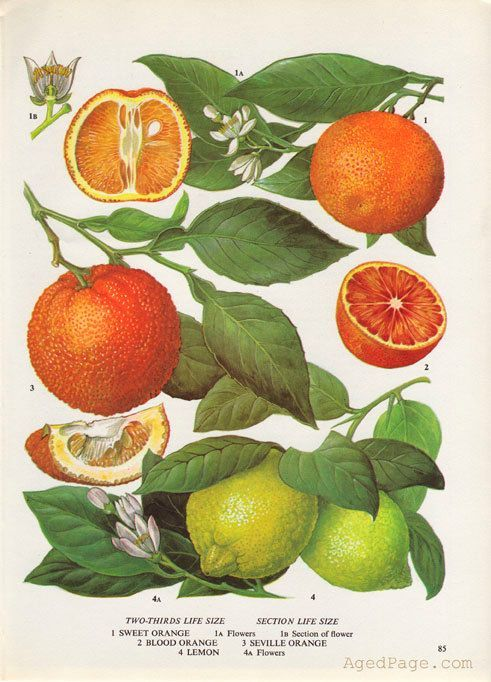 Fruit print botanical orange and lemon illustration vintage kitchen decor wall art