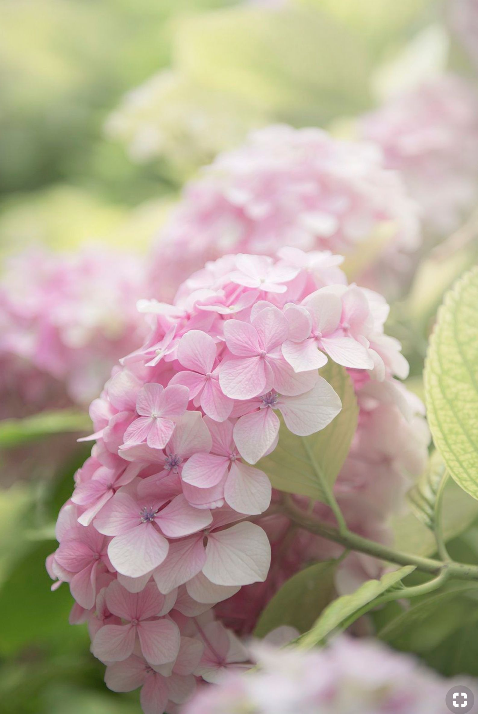 Light Pink Hydrangea In A Soft Focus With A Light Green Background Pink Hydrangea Pretty Flowers Beautiful Flowers