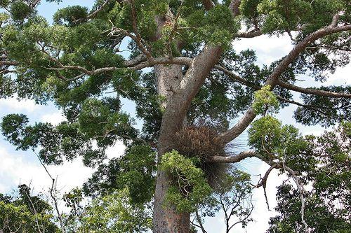 Agathis microstachya Araucariaceae North Queensland Kauri 1009 01 Lake Barrine | Flickr - Photo Sharing!