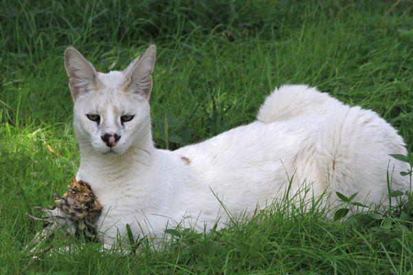 Big Cat Rescue Timeline Photos Facebook Big Cat Rescue Cat Has Fleas Caracal Cat