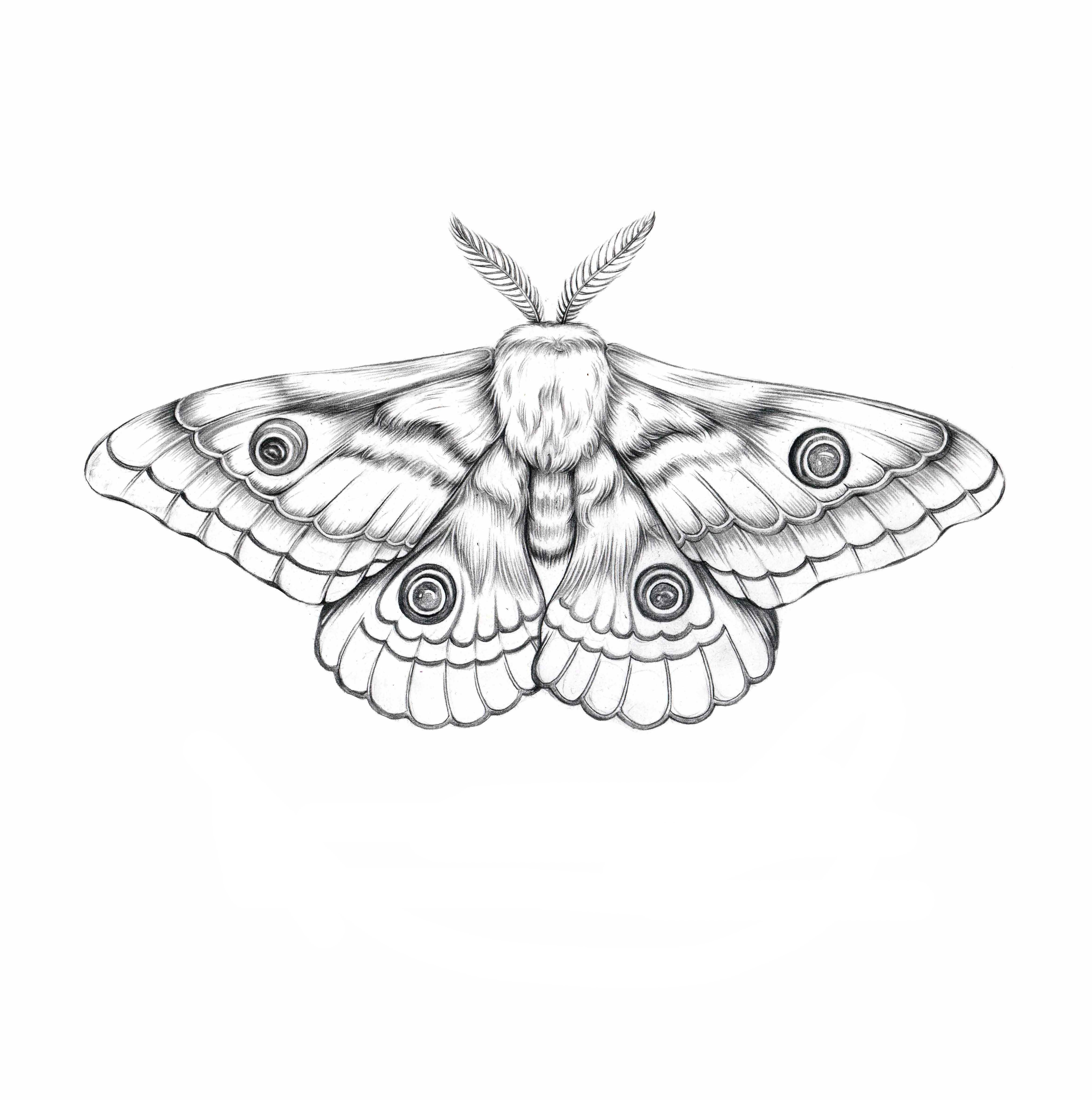 Illustration Tattoos: Moth Illustration, Moth Tattoo, Tattoos
