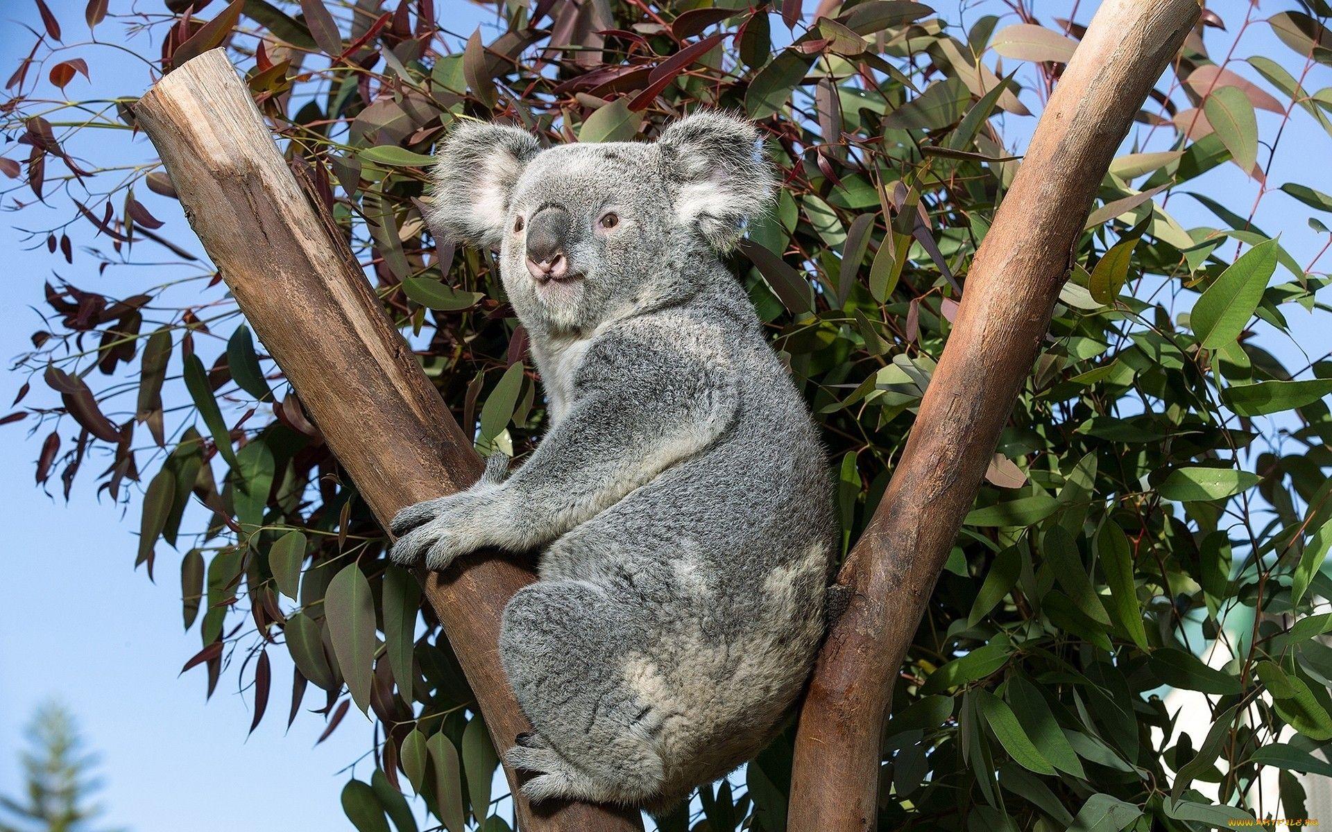 лучшие специальные коала фото животного поганый ворог-половец
