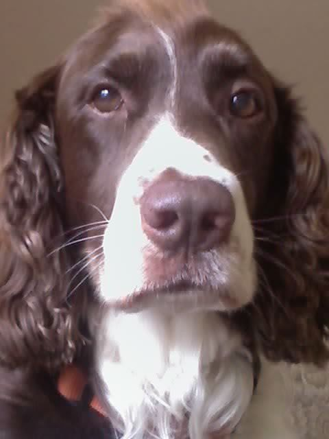 Reminds Me Of Our Magi Who Had That Same Unequal Muzzle Of White Such A Beauty With Images English Springer Spaniel Springer Spaniel