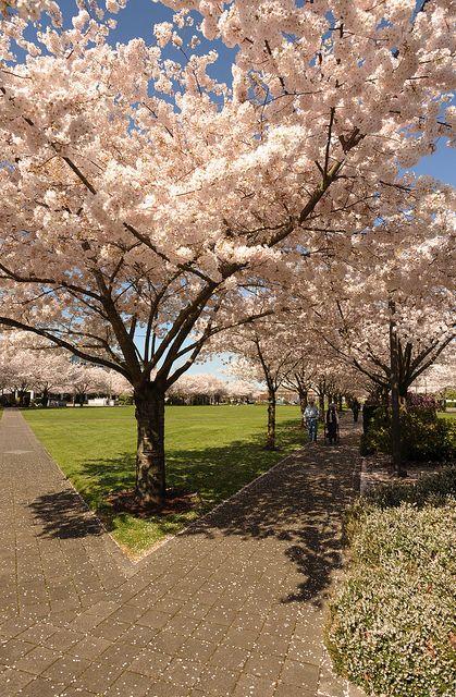 Cherry Trees Salem Or Cherry Tree Beautiful Photo Photo