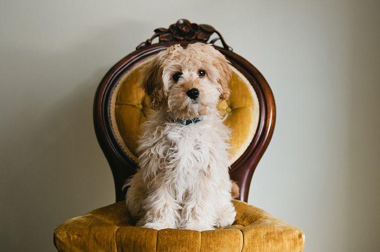 Parker James Mccartney Our 16 Week Old Cavapoo Pup Cavapoo
