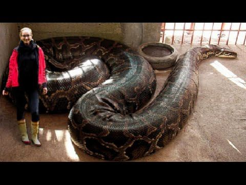 Biggest Snake Of The World Largest Snake Big Python With