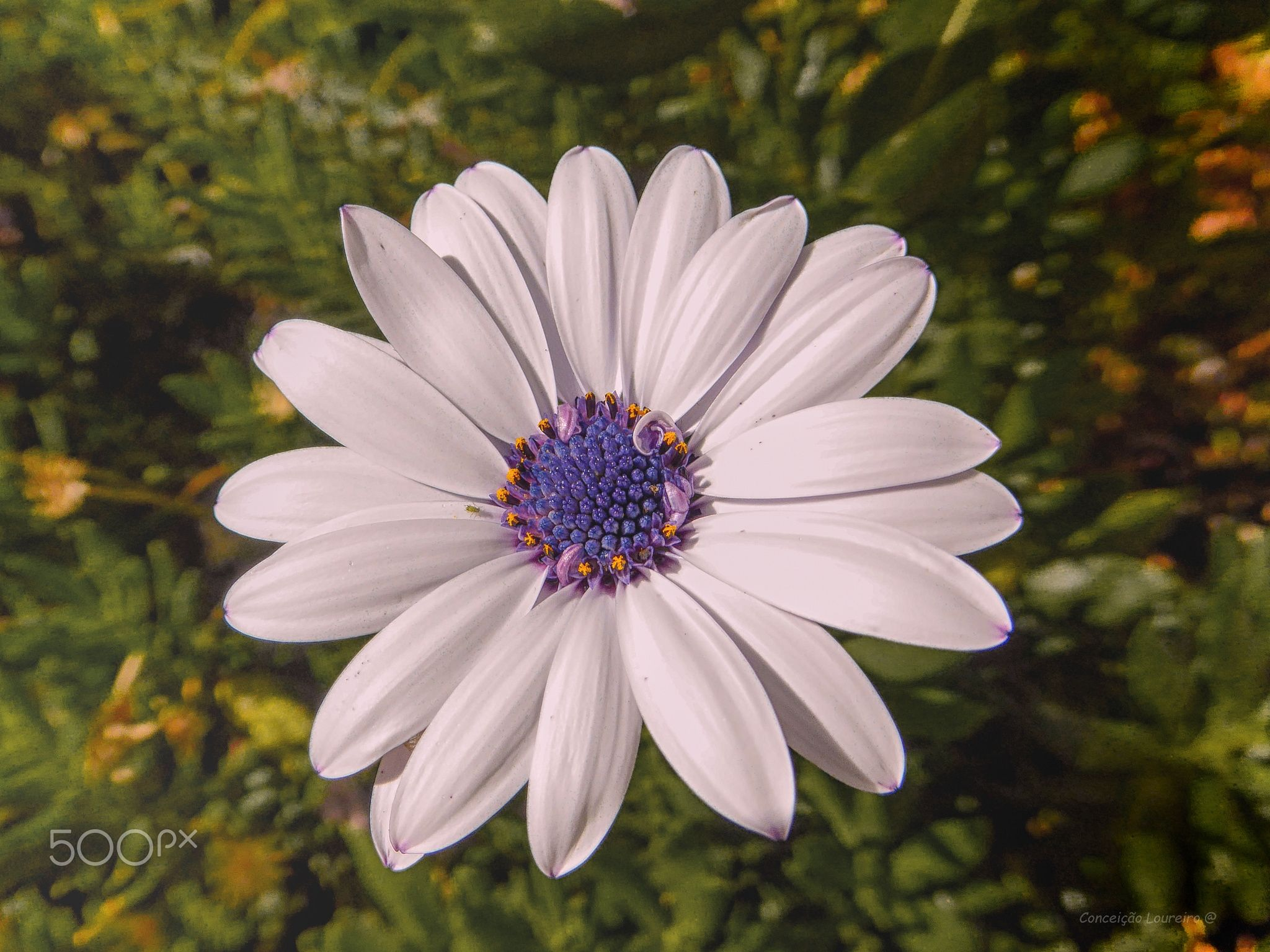 White daisy a daisy in the middle of a meadow the autumn white daisy a daisy in the middle of a meadow the autumn sunshine intensely izmirmasajfo