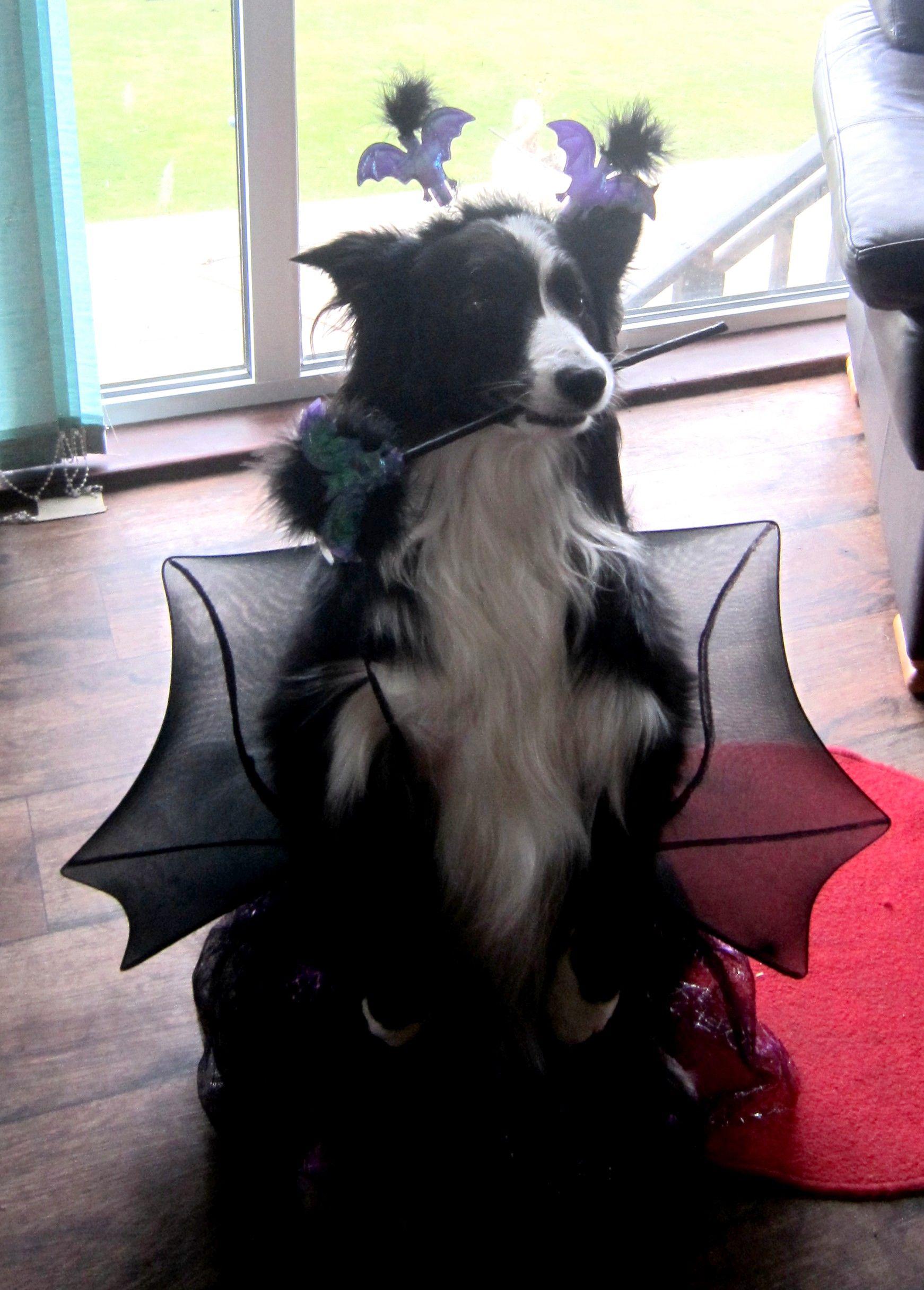 Bat Border Collie in Halloween Costume#Asha the border