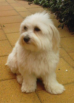 Benji The Silkese Maltese Silky Terrier Hybrid At 1 Year Old