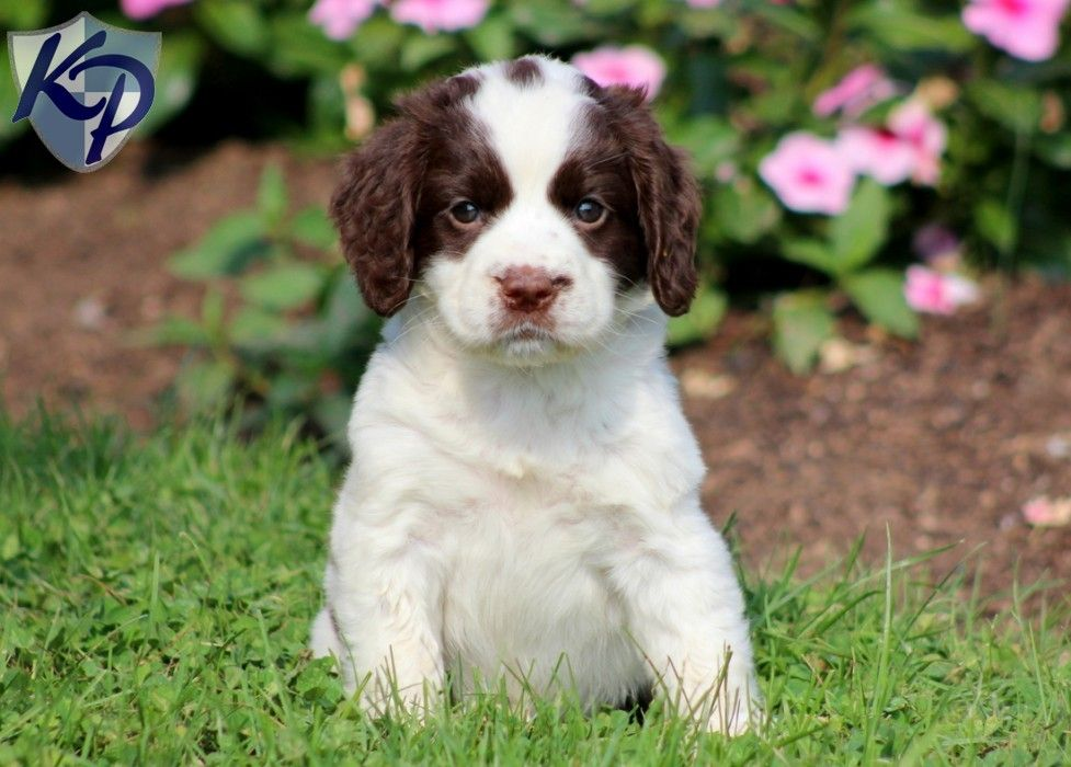Puppy Finder Find Buy A Dog Today By Using Our Petfinder Spaniel Puppies For Sale English Springer Spaniel Puppy English Springer Spaniel