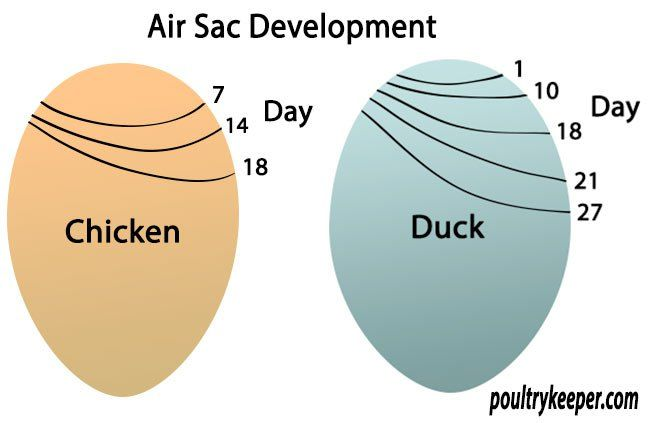 e962139a4860fa16a2d2d8aef88b1375 air sac development chickens pinterest eggs, egg candling and