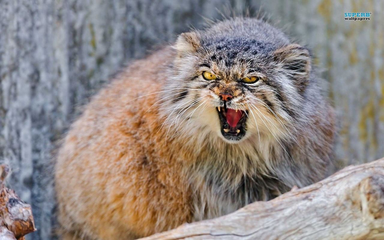 Pallas's Cat | Pallas's cat wallpaper - Animal wallpapers - #15906