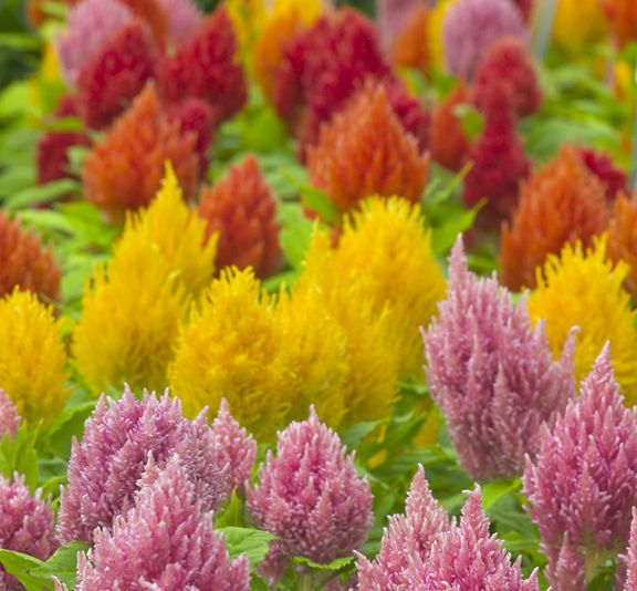 Plume Celosia Comes In All Kinds Of Beautiful Doctor Seuss Colors Flower Pots Flower Seeds Plants