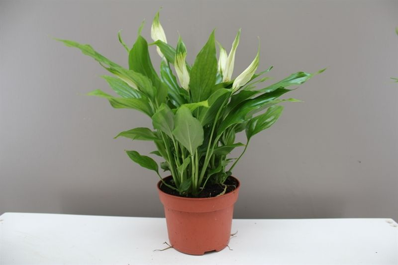Peace Lily - Spathiphyllum Chopin | Things Aracae, the Arum family on christmas poinsettia plant, christmas hydrangea plant, best christmas trees to plant, christmas care of lilies, christmas rose plant, christmas lion, christmas plant ideas, christmas jade plant, christmas fern plant, christmas holly plant, christmas hope plant, christmas mistletoe plant, christmas kalanchoe plant, christmas orchid plant, christmas holiday plants, christmas cactus plant, christmas tree looking plant, christmas chinese lantern plant, christmas flowers,