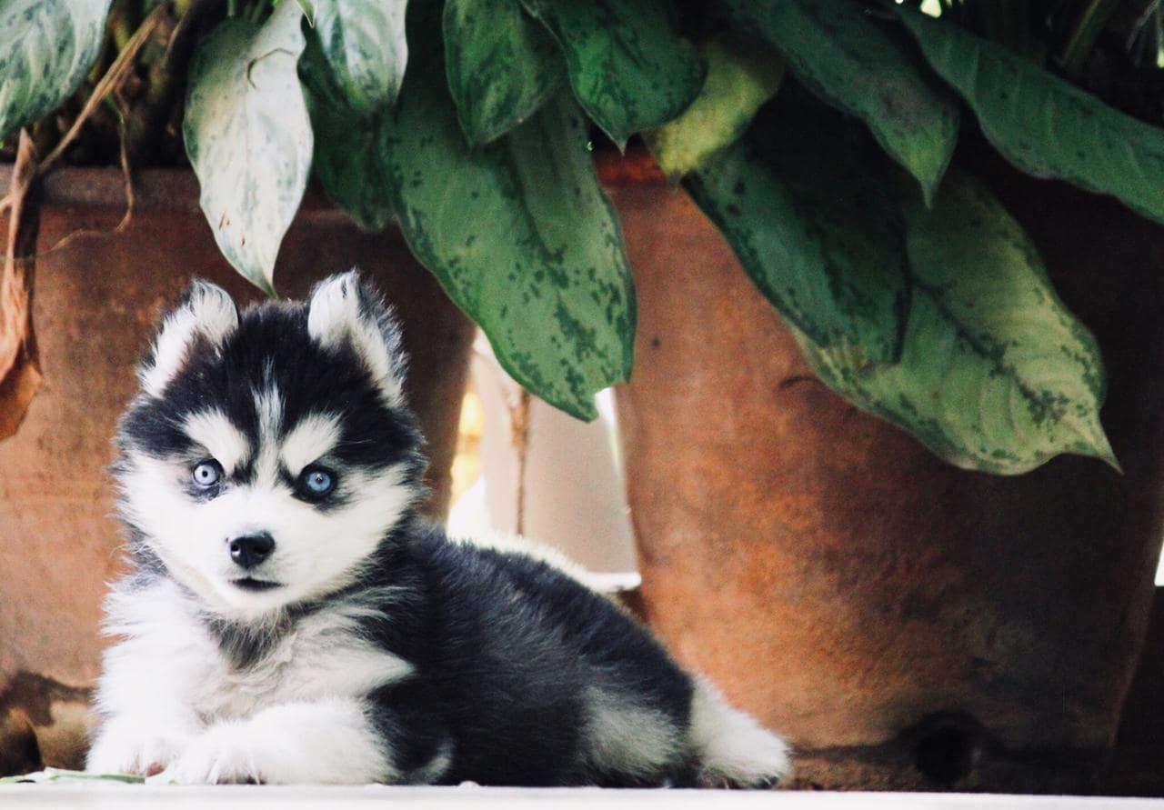 55 beagle dog price in india mumbai in 2020 beagle dog