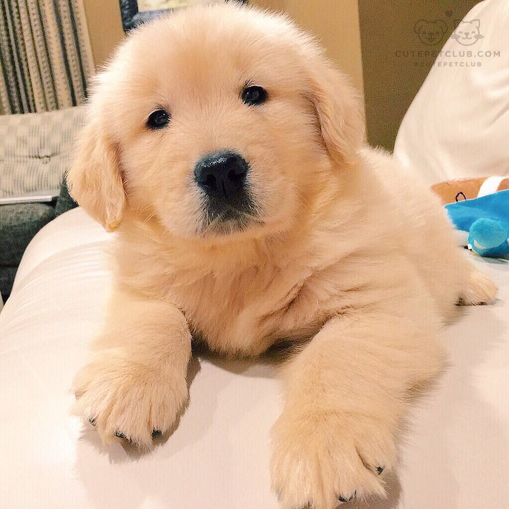From Leothegoldenretriever1 People Say I Look Like A Teddy Bear