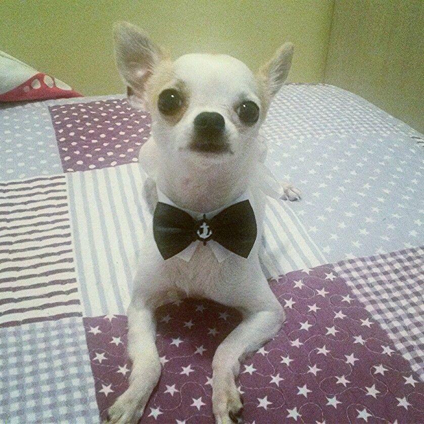 Esse é o Paçoca... My New baby  o_pacoca_chihuahua