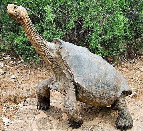 Galapagos Tortoise This Unique Turtle Is Only Found On A