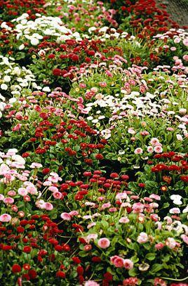 Gänseblümchen Bellis Tasso Mix Zweijährig Samen