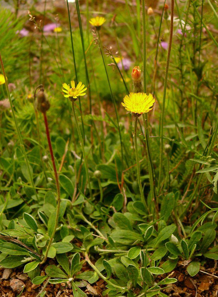 Jastrzebiec Kosmaczek Invasive Species Plants Natural Remedies