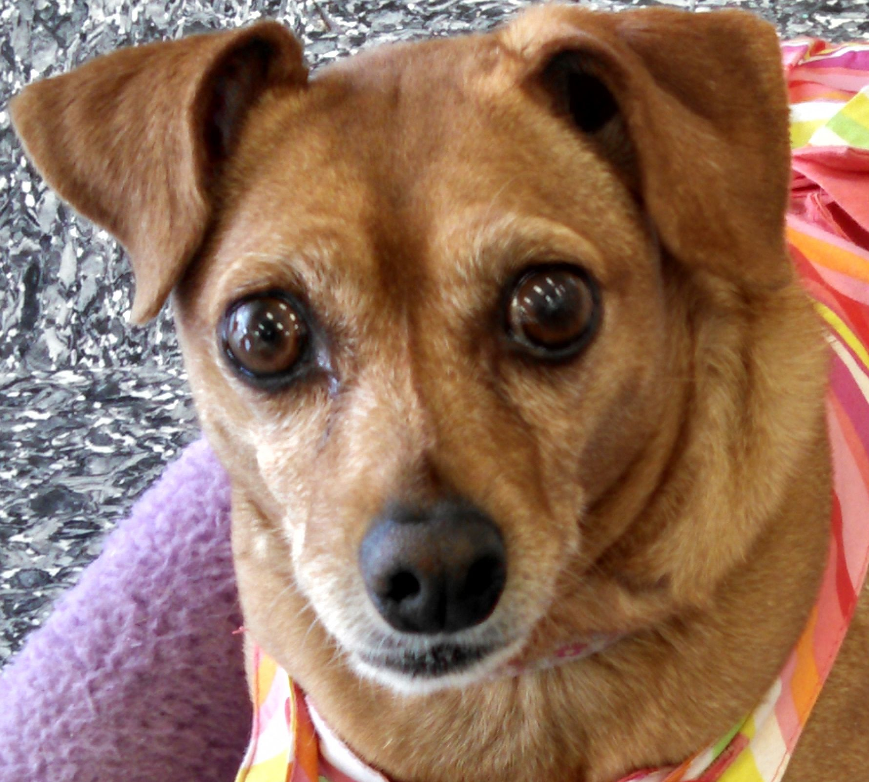 Sadie Is A Spunky Chihuahua Blend She Is 9 Years Old And Good