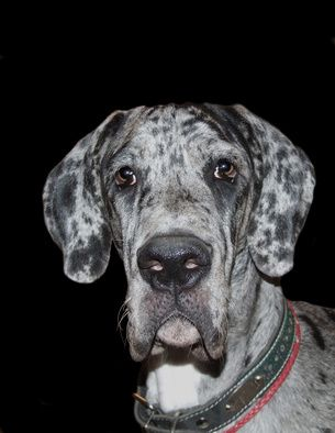How To Raise A Great Dane Dane Puppies Great Dane Dogs Great