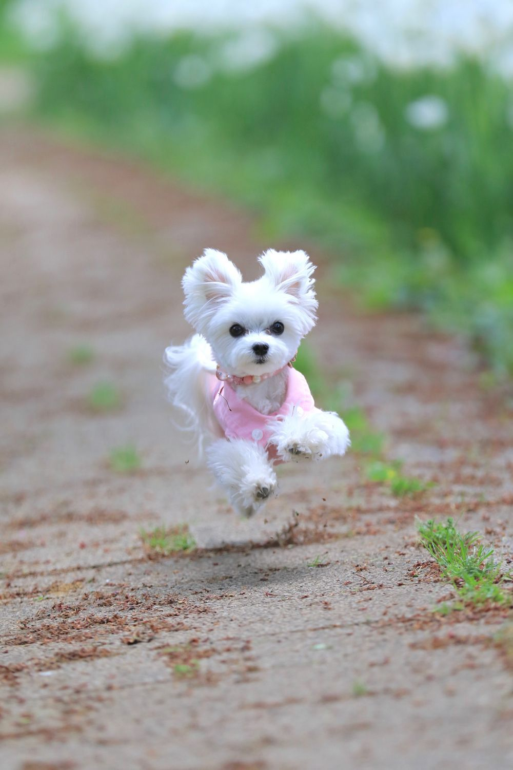 Maltese Puppy Running Adorable Dog Ears Flying So Sweet Cute