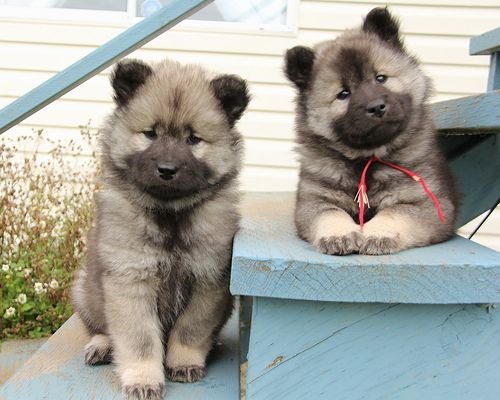 Eurasier Great Puppies Keeshond Puppy Cute Baby Animals Cute Dogs