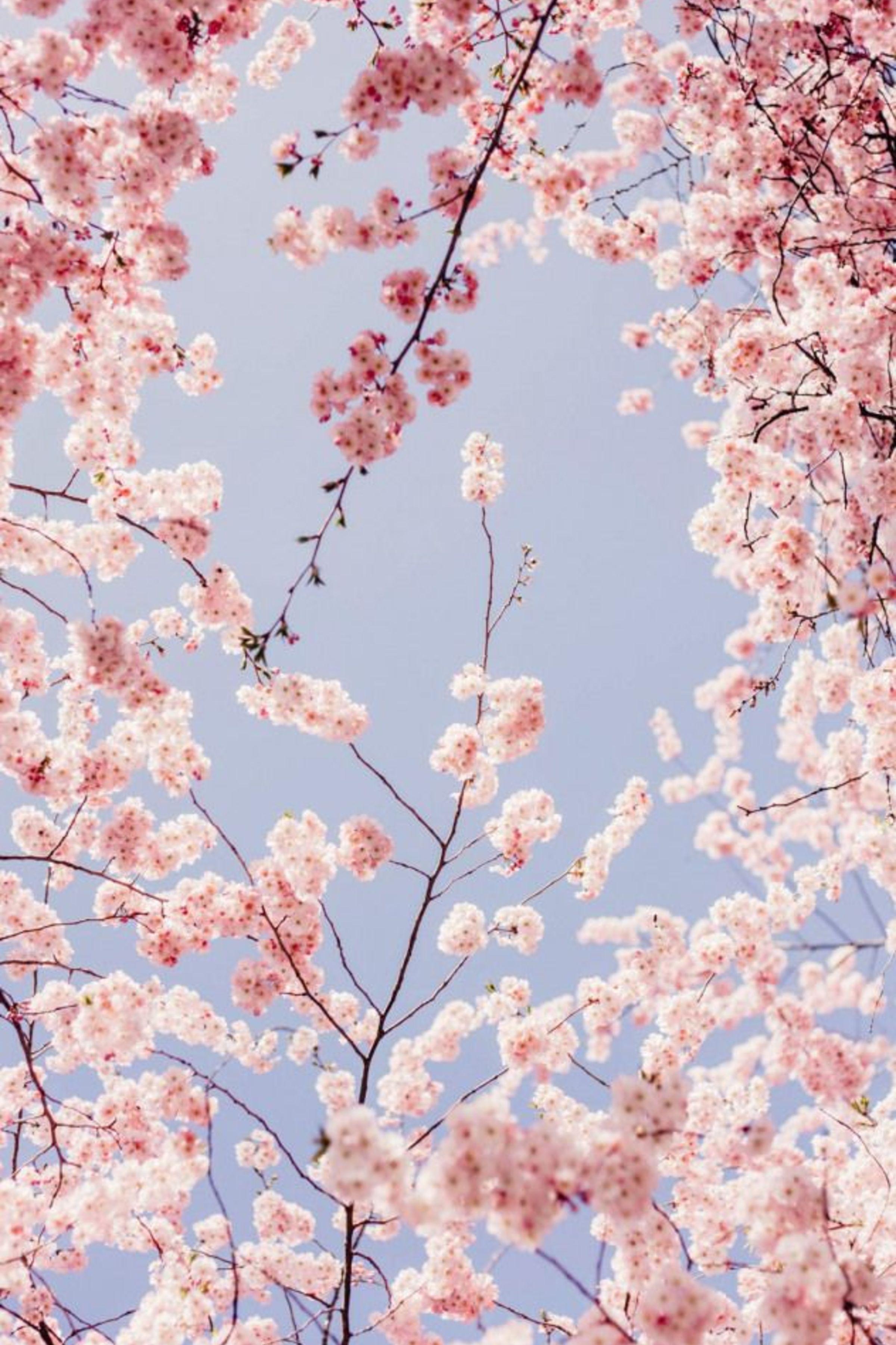 Enjoy The Palm Life Usapalm Com Cherry Blossom Wallpaper Iphone Background Wallpaper Flower Phone Wallpaper