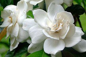Fortuniana Flower Essence Rosa Lady Eubanksia X Cherokee Rose Cherokee Rose Flowers Garden Boxes