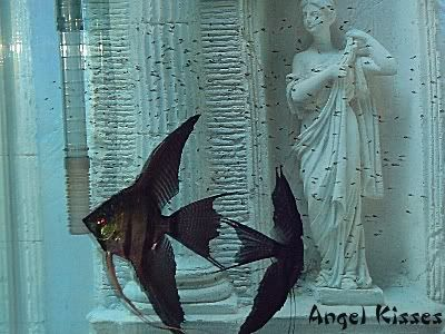black lace angelfish | Black Lace with fry - The World ...