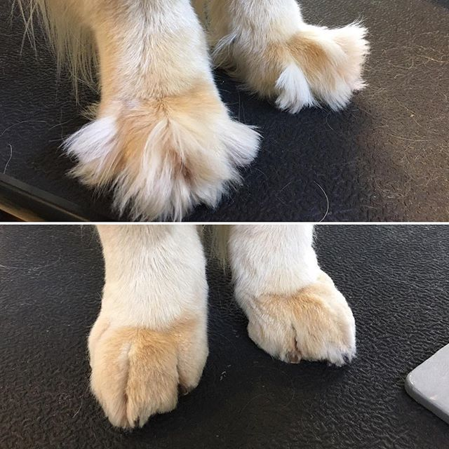 Grinch Paws To Gorgeous Paws Goldenretriever Dog Grooming