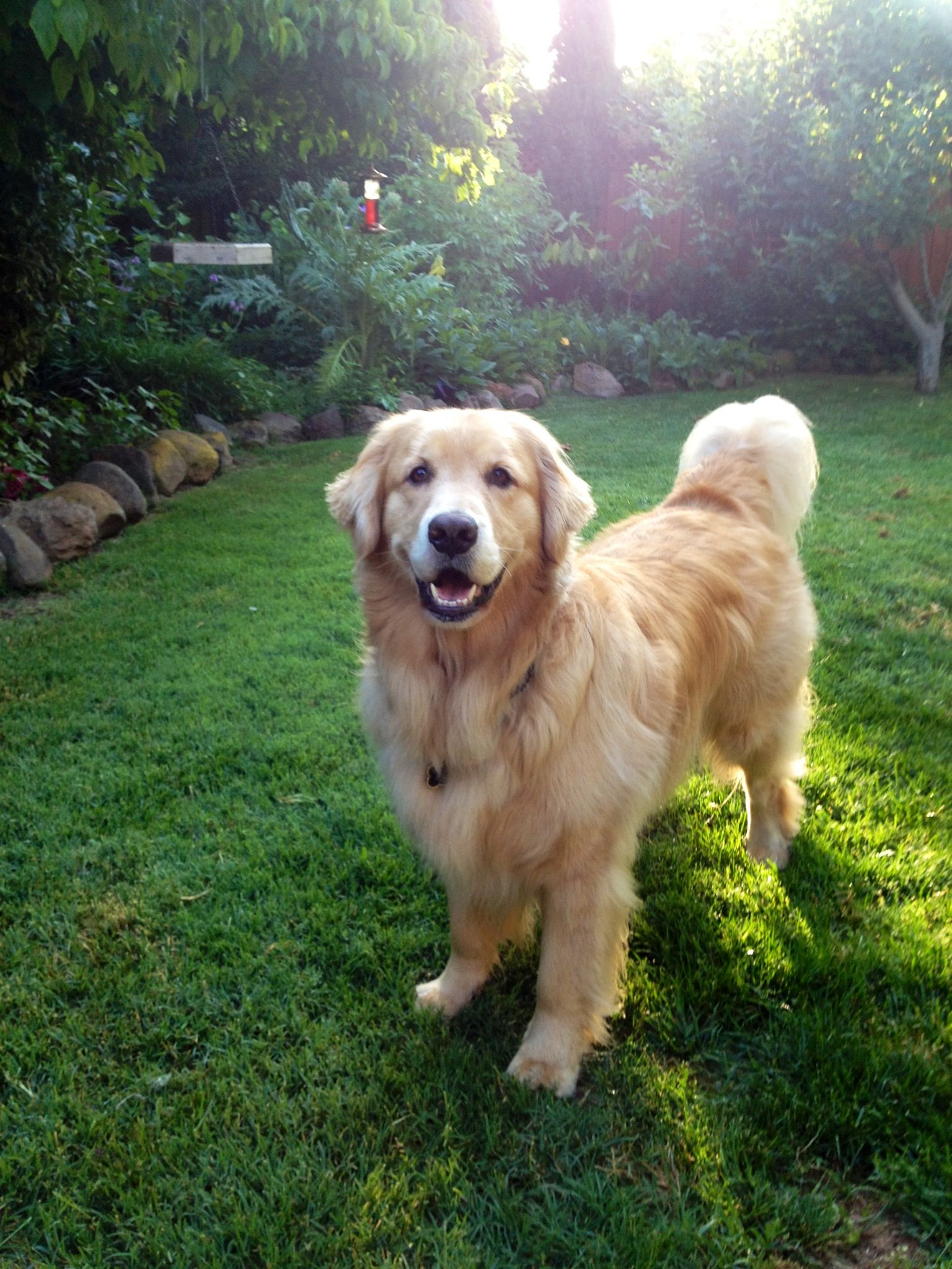 Happy Dog Golden Retriever Funny Happy Dogs Golden Retriever