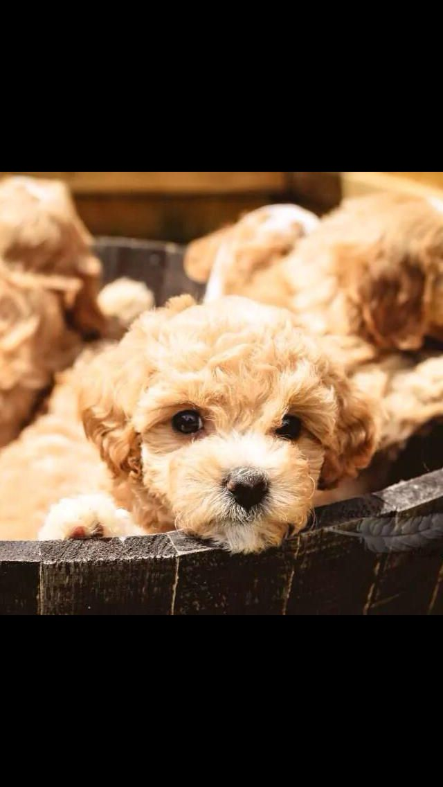 Cavapoochon Cuties Red Top Mountain Puppies Puppies