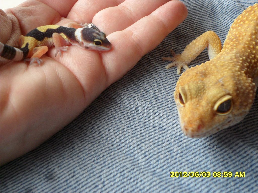 Baby Leopard gecko with her dad | Reptiles | Pinterest | Asas y Animales