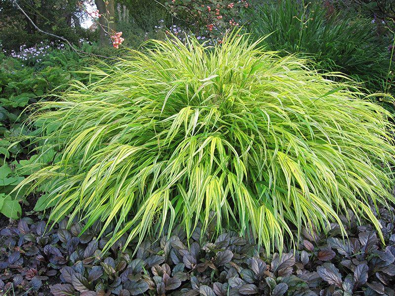 Buntes japan berggras hakonechloa macra aureola gelbbuntes for Natural grasses for landscaping