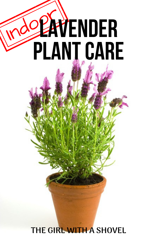 Indoor Lavender Plant Care is part of Lavender plant care, Indoor lavender plant, Lavender plant, Growing lavender indoors, Plants, Plant care - Do you want to grow your own lavender indoors ! Here's how! Check out these indoor lavender plant care tips to keep your lavender plant happy and healthy!