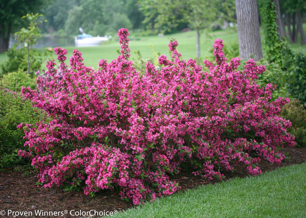 Sonic bloom pink reblooming weigela weigela florida for Pink flowering shrubs