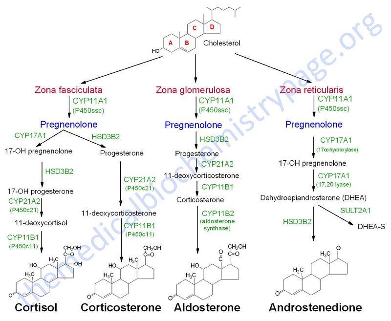 steroid hormone cascade