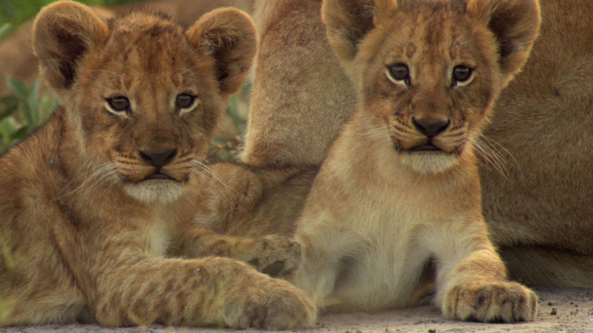 Lions The Last Lions Big Catswildcats 4 Lion Cub Lion