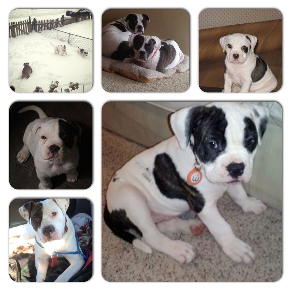 Check Out Sydney And Her Adorable Pups All Rescued By American Bulldog Rescue Puppy Cooper Is Now A Wagaware Amb American Bulldog Rescue Dog Adoption Dog Cat