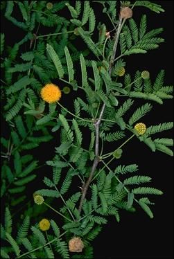 Perfume Acacia Acacia Farnesiana Fragrant Plant Plants Acacia