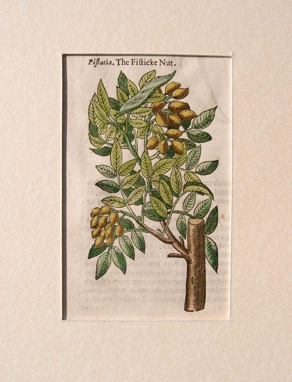 Stampe antiche frutta Gerard