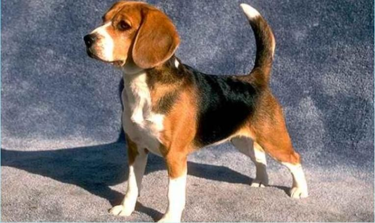 Foxhound Puppy Beagle Dog Cute Beagles