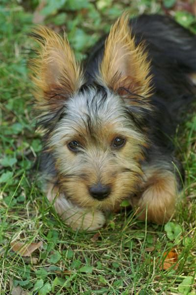 Silky Terrier Omg Looks Like Chip When I Brought Him Home