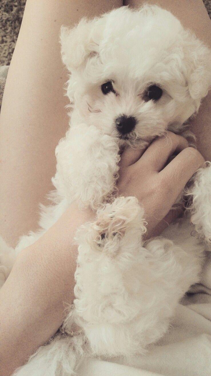 White Cream Maltipoo Maltipoo Maltipoo Dog Puppy Help