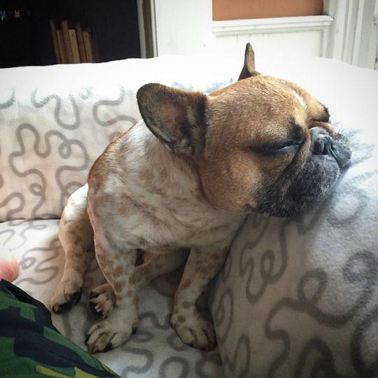 Bonjour Nino Is Sooooooo Sleepy French Bulldog French Bulldog
